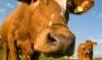 Holy Cow! – Hormones used in beef farming